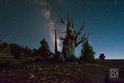 bristlecone-at-night